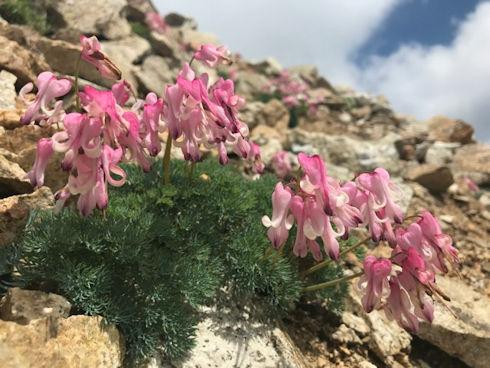 小屋周辺の高山植物